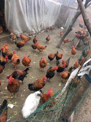 这是一张关于柴鸡 公 6月以下 4-5斤的产品图片