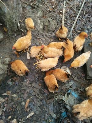 这是一张关于土鸡 母 6~9月 3-4斤的产品图片