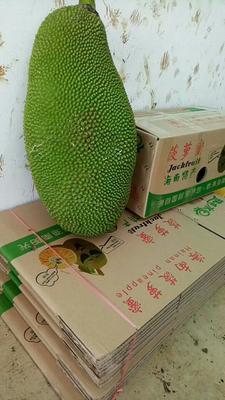 海南海口琼山区海南菠萝蜜 15斤以上