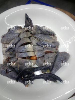 湖南怀化鹤城区雪峰乌骨鸡 统货 6~9月 2-3斤