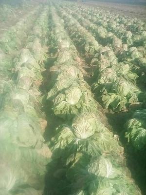 山东省日照市东港区87-114白菜 6~10斤 净菜
