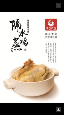 湖南郴州苏仙区清远麻鸡 母 6~9月 2-3斤