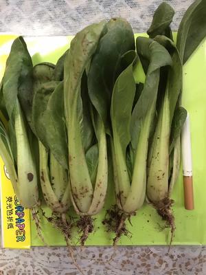 甘肃定西临洮县北方小油菜 1两以下