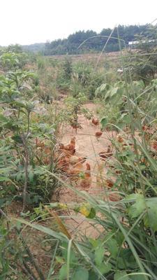 湖北咸宁赤壁市土鸡 母 6~9月 2-3斤