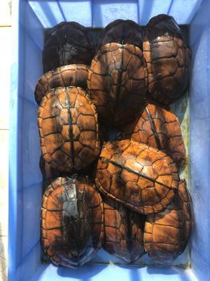 广东佛山顺德区南石龟 50cm以上 2-4斤