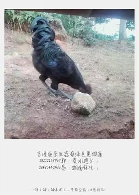 湖南怀化鹤城区五黑鸡 母 6月以下 3-4斤