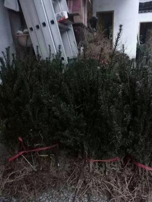 湖北恩施土咸丰县曼地亚红豆杉 0.5~1米
