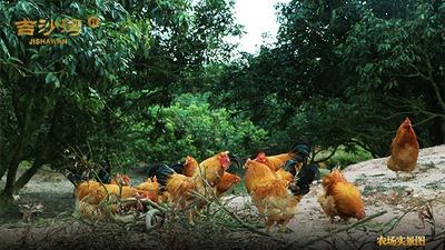 广东茂名电白区吉沙湾生态土鸡 统货 6~9月 3-4斤