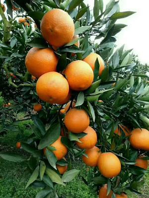 这是一张关于金堂脐橙 55mm以下 4-8两的产品图片