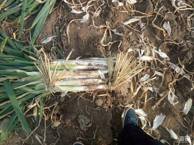天津宝坻长白大葱 3cm左右 30~40cm 毛葱