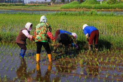 这是一张关于圆粒大米 绿色食品 早稻 一等品的产品图片
