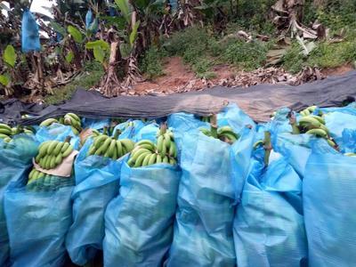 云南文山西畴县巴西香蕉 七成熟 50 - 60斤
