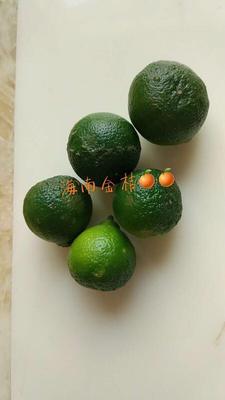 广东广州白云区青金桔 3-4cm 1-1.5两