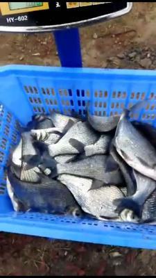 安徽省合肥市长丰县池塘鳊鱼 人工养殖 1-1.5龙8国际官网官方网站