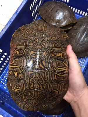 贵州贵阳云岩区巴西龟 10-20cm 2-4斤