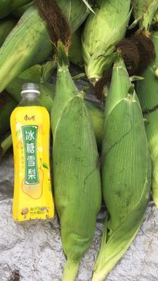广东湛江雷州市甜玉米 1% 鲜货