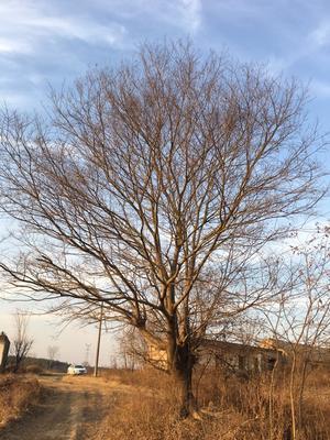安徽省滁州市琅琊区丛生朴树