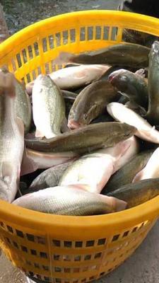 广东广州天河区淡水鲈鱼 人工养殖 1-1.5龙8国际官网官方网站