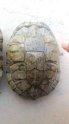 贵州贵阳云岩区巴西龟 10-20cm 4-6斤
