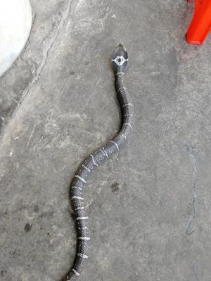 广东江门蓬江区眼镜蛇 食用