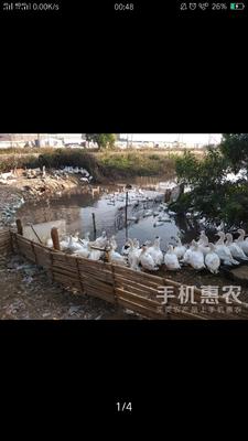 广东省佛山市南海区鸭肉类 新鲜