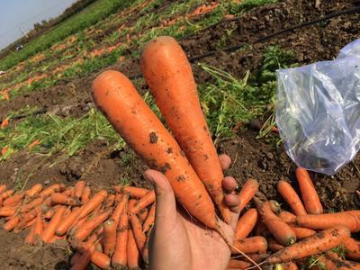 山东省青岛市莱西市三红胡萝卜 10~15cm 4两以上 3~4cm
