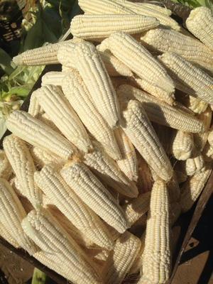 吉林四平双辽市白糯玉米 1% 鲜货
