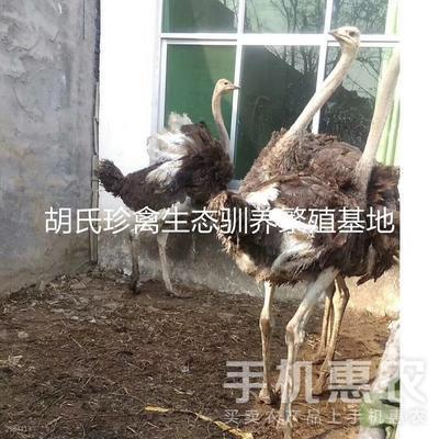 河南驻马店遂平县非洲鸵鸟