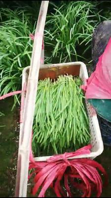 河北省衡水市景县阔叶韭菜 二茬 35~40cm