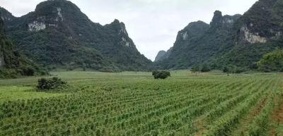 广西崇左龙州县人工种植有机无渣粉葛 2.0-2.5斤