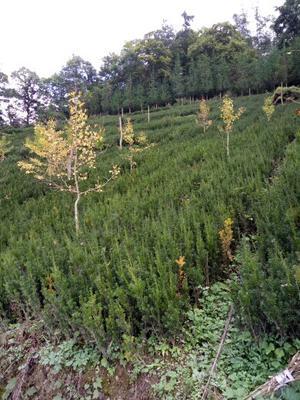 四川绵阳北川羌族自治县曼地亚红豆杉 0.5~1米