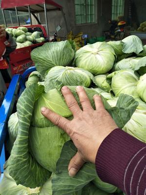 广西壮族自治区南宁市良庆区京丰一号甘蓝 2.0~2.5斤