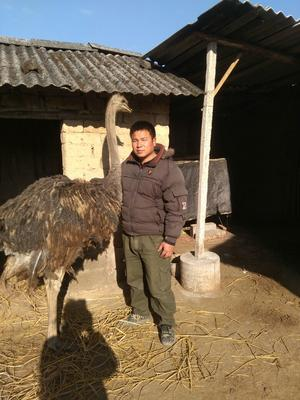广西桂林兴安县非洲鸵鸟