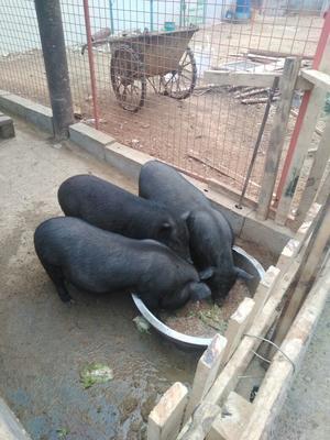 广西柳州柳江县环江香猪 80斤以上
