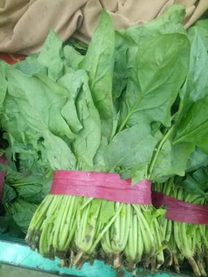 河北邯郸邯郸县大叶菠菜 20~25cm