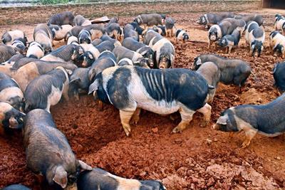 江西南昌南昌县野香猪 160-200斤