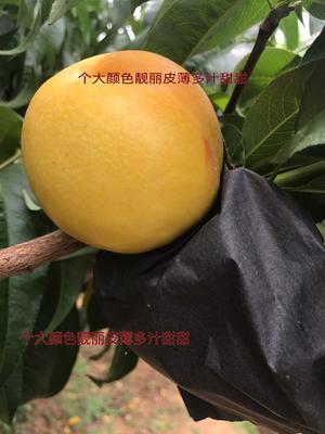 山东临沂蒙阴县黄油桃 3两以上 50mm以上