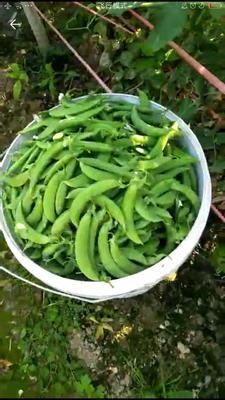福建漳州东山县甜脆豌豆 5-7cm 较饱满