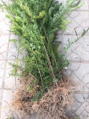湖南永州东安县南方红豆杉 1.0米