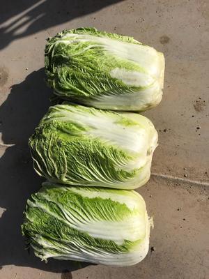 甘肃省酒泉市肃州区北京三号大白菜 3~6斤 净菜