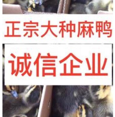 广西南宁西乡塘区麻鸭苗