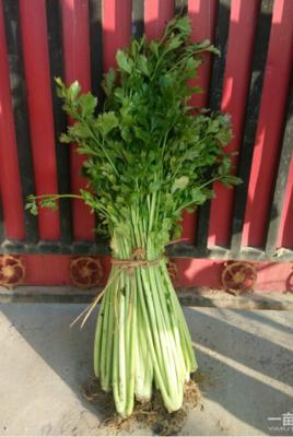 河南省新乡市封丘县玻璃脆芹菜 55~60cm 大棚种植 0.5~1.0斤
