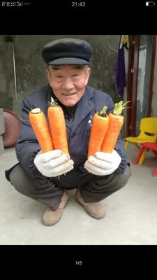 陕西榆林神木县三红七寸参胡萝卜 10~15cm 5两以上 3~4cm
