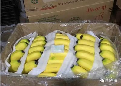 浙江金华兰溪市广西蕉 八成熟 40斤以下