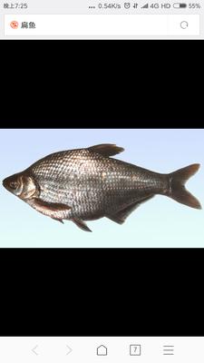 河南省郑州市金水区池塘鳊鱼 人工养殖 1-1.5龙8国际官网官方网站