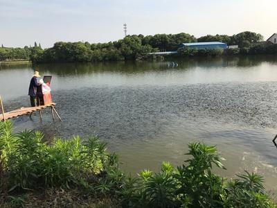 江西南昌南昌县池塘草鱼 人工养殖 0.25-1龙8国际官网官方网站