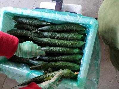 山东临沂兰陵县密刺黄瓜 22~25cm 干花带刺