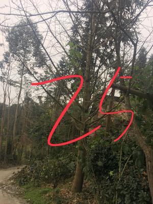 四川乐山沙湾区银杏实生树
