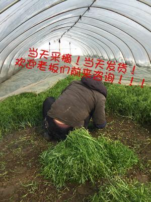 江苏南京六合区青藜蒿 35~40cm