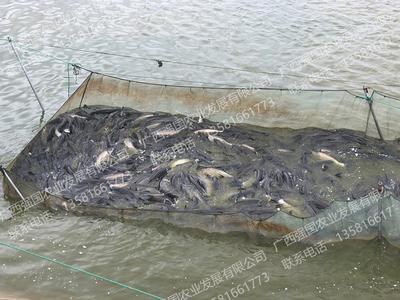 广西南宁西乡塘区生态草鱼 人工养殖 1.5-4龙8国际官网官方网站